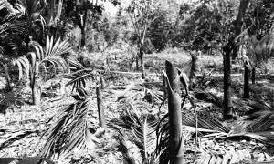 事发三亚南滨农场一种植林 1200多株槟榔树莫名遭砍伐