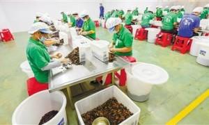 万宁槟榔加工业补短板提质效