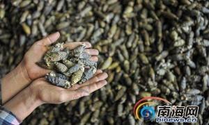每公斤超20元 2018年海南槟榔收购价格喜人